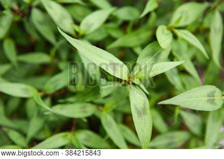 Vietnamese Mint In The Garden / Vietnamese Coriander Herb And Vegetable