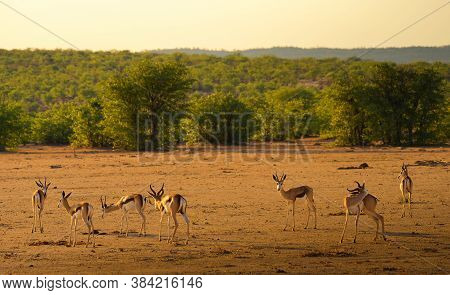 Herd Of Springbok Antelopes, Also Known As Antidorcas Marsupialis, Photographed At Sunset In Namibia