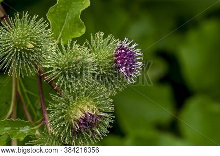 Bud Of A Banater Globular Thistle With Water Drops In Front Of Green Background