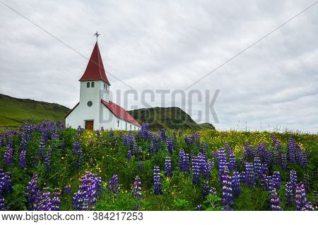 Vikurkirkja Christian Church Surrounded With Blooming Lupine Flowers In The Town Of Vik I Myrdal, Ic