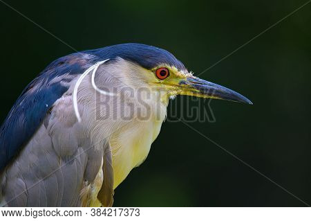 Closeup Portrait Of A Black-crowned Night Heron