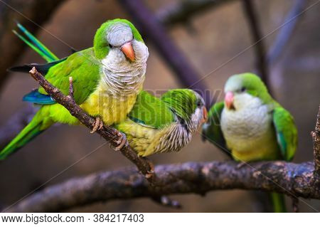Three Colorful Amazon Parrots Sitting On A Branch And Looking Into Camera