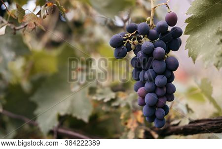 Vine On The Side And Plenty Of Space For Text. Ripe Red Grapes Hang In A Cluster On A Green Vine In