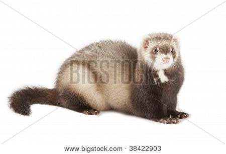young little polecat isolated over white background poster