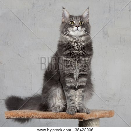 young Maine Coon standing and looking up poster