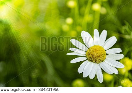 Camomile Close Up In A Meadow Illuminated By Sunlight