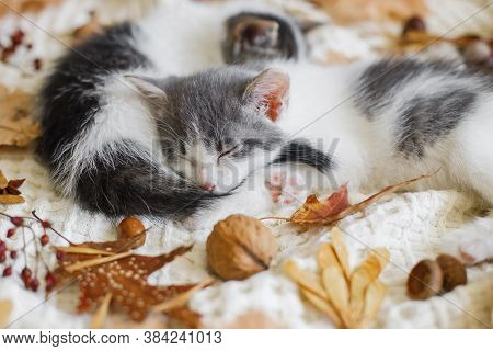 Autumn Cozy Mood. Adorable Kittens Sleeping In Autumn Leaves On Blanket. Two Cute White And Grey Kit