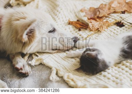 Cute White Puppy Lying With Little Kitten On Soft Bed In Autumn Leaves. Adoption Concept. Dog And Ki
