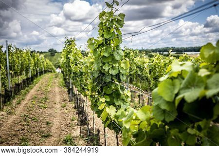 Vineyard With White Wine And Dramatic Cloud