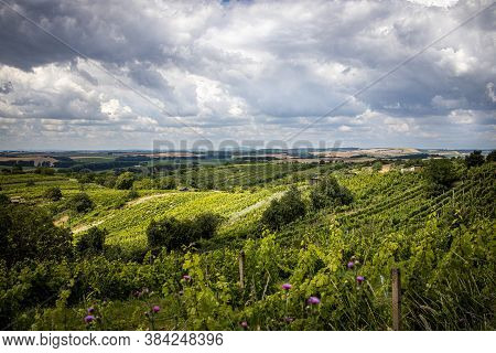 Winery  Vineyard With White Wine, Open Landscape