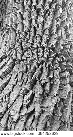 Close Up Of Bark On The Trunk Of An Ash Tree In The Forest