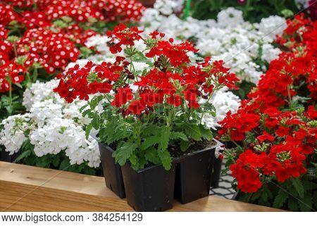 Mixed Color Garden Verbena Blooming (verbena Tenera), Verbena In A Black Tray, Pot Plants