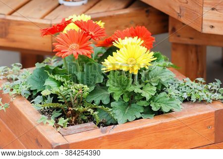 Blurry Red Yellow Colour Gerbera Daisy. Gerbera Plant In Pot On The Table. Full Bloom.
