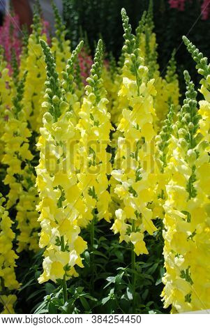 Colorful Snapdragon (antirrhinum Majus) Blooming In The Garden Background With Selective Focus, Yell