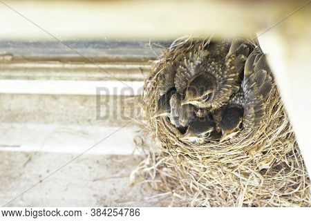 Four Robin Fledglings Within A Nest On A Door Frame In A New England Home.