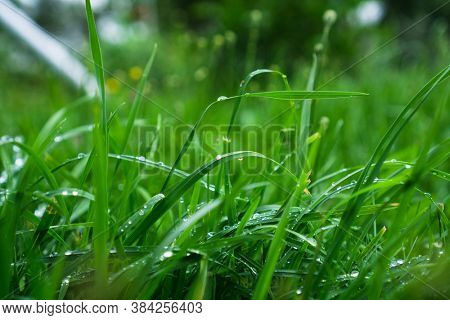 Green grass with dew drops. Lawn after rain.