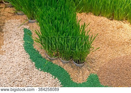 Wheatgrass In Pots And Many Grains Seeds