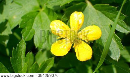 Common Buttercup Yellow Flowers On Green Grass Background. Ranunculus Acris Meadow Buttercup, Tall B