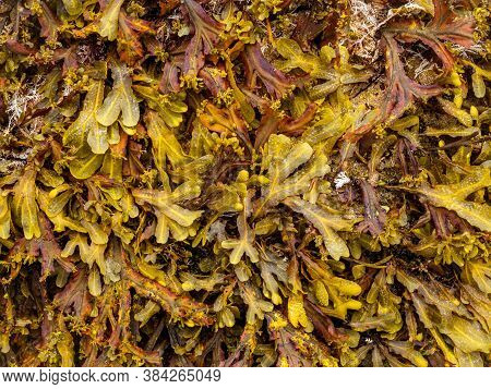 Detail Of Brown Algae (phaeophyceae) From The Cantabrian Sea (galicia - Spain)