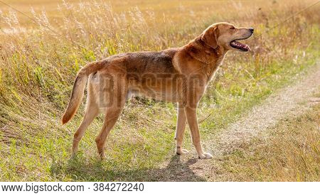 A Shot Of A Brown Hound Dog Posing On A Road In The Country. Countryside Field As A Background.