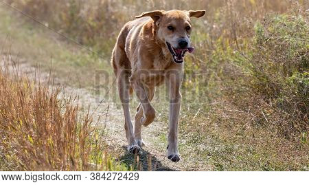 A Shot Of A Brown Hound Dog Running And Hunting In The Country.