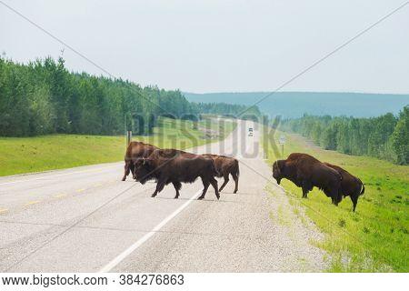 Wild Buffalo in Yellowstone National Park, USA