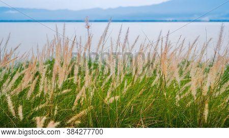 Fountain Grass, Dwarf Fountain Grass, Foxtail Fountain Grass, Swamp Foxtail Grass (pennisetum Setace