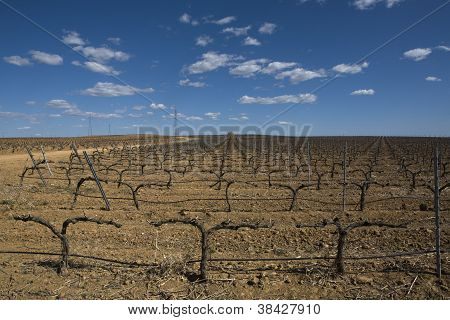 Lines of grapevines in winter