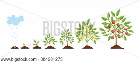 Stage Growth Plant. Growth Stages From Seed To Flowering And Fruiting Plant With Ripe Red Tomatoes.