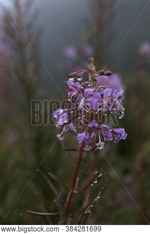 Rosebay Willowherb also known as Fireweed - latin name Chamaenerion Angustifolium. Showy purple-pink flowers on a long reddish straight stem.  Summer and autumn mountain and forest flowers. Bears and elk delicacy.
