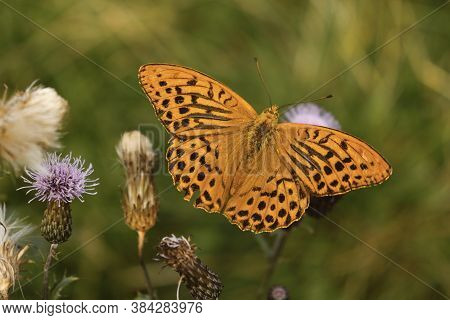 Silver-washed Fritillary - Latin Name Argynnis Paphia, Male, One Of Europes Largest And Most Magnifi