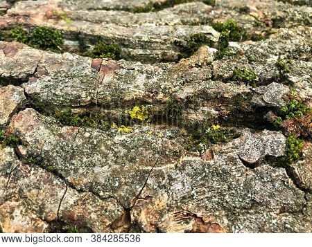 Wood Textured Background With Green Moss.texture Of Tree Bark And Moss Closeup. Moss Background