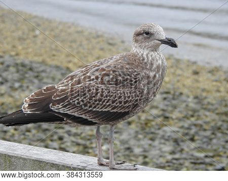 A Juvenile Southern Black-backed Gull On The Beach