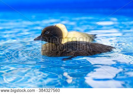Yellow Small Cute Duckling In Swimming Pool. Duckling Swimming In Crystal Clear Blue Water Sunny Sum