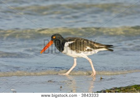 An American Oystercatcher Walks The Beach In Search Of Shellfish