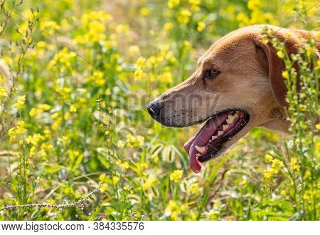A Close Up Shot Of A Brown Hound Dog Hunting On A Meadow Blurred Background. Meadow Is Full Of Green