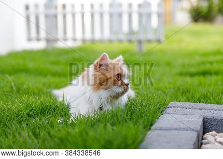 The Cute Persian Cat Is Sitting On A Green Grass Field, And Looking Something, Selective Focus Shall