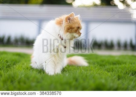 The Cute Persian Cat Sitting On The Green Grass Field, And Looking At Something, Selective Focus Sha