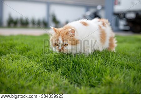 The Cute Persian Cat Is Smelling A Green Grass Field, Selective Focus Shallow Depth Of Field