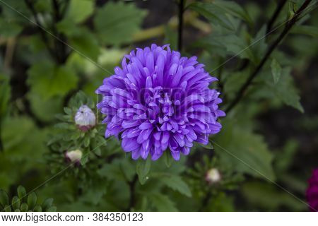 Flower Astra Violet Color On The Green Leaves Background. Top View Of Beautiful Astra.