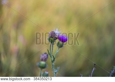 Purple Thistle Flower And Prickly Buds. Beautiful Flower Of Purple Thistle. Pink Flowers Of Burdock