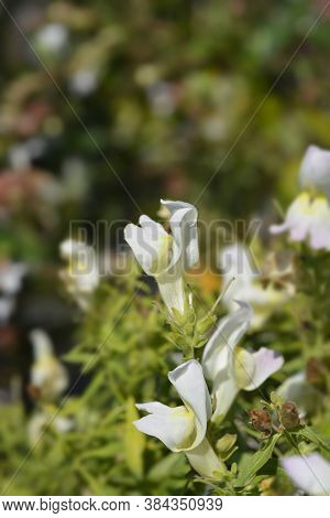 Snapdragon Flowers - Latin Name - Antirrhinum Majus
