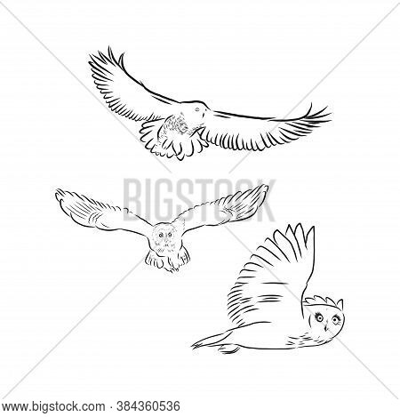 Hand Drawn Vector Realistic Bird, Sketch Graphic Style, Long Eared Owl, Asis Otus, Owl Vector Sketch