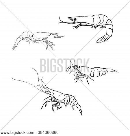 Shrimp Icon. Shrimp In Vector Isolated On White Background. Shrimp Vector Sketch Illustration