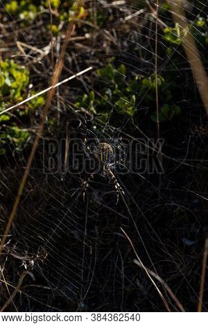 Detail Of A Fertilized Yellow And Black Spider Of The Argiope Bruennichi Species Or Wasp Spider In I