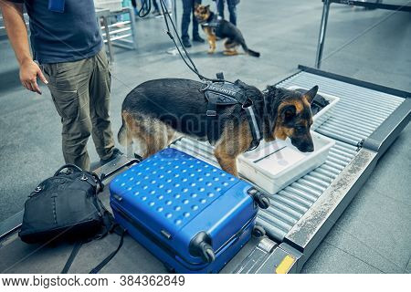 Security Guard And Detection Dog Inspecting Luggage In Airport