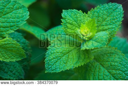 Green Peppermint Leaves Background. Nature Green Background.
