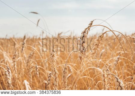 Wheat Field And Sunny Day. Ripe Ears Of Wheat. Blue Sky With Clouds. Summer Harvest Of Ripe Wheat. G