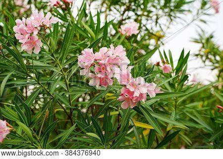 Oleander Flowers on tropical garden.