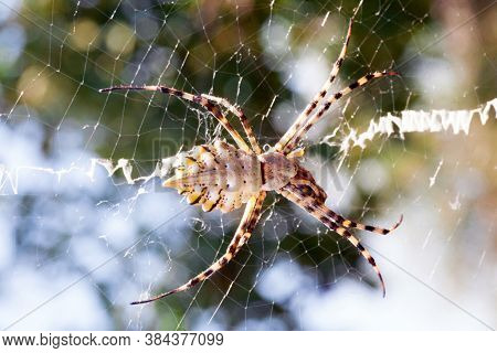 Agriopa Is A Lobulated Poisonous Wasp Spider Of A Terrible Species Painted In A Black And Yellow Str